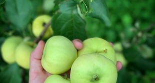 Summer has turned into fall which means its time to harvest apples. First up is …